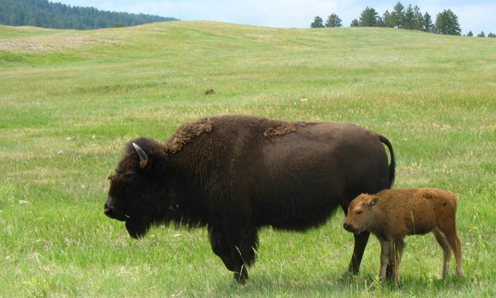 A Buffalo and calf roaming a grass field